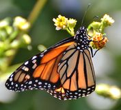 Monarch Butterfly. Pollinating a yellow flower stock photography
