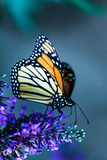 Monarch Butterfly Portrait. Monarch butterfly feeding on a buddleia bush Stock Photos