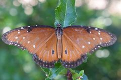 Monarch Butterfly. Portrait of a monarch butterfly royalty free stock photos