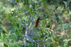 Monarch Butterfly. Portrait of a monarch butterfly stock image