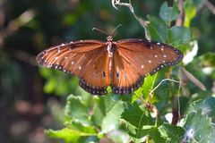 Monarch Butterfly. Portrait of a monarch butterfly royalty free stock photography