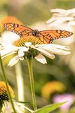 A monarch butterfly portrait in a flower field. A monarch butterfly on a white flower during a sunny day with vibrant colors. Orange and black wing colors royalty free stock photo