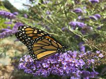 Monarch Butterfly Portrait with Pollen on Proboscis. The butterfly bush, or Buddleja, is a favorite shrub to be cultivated, as in this purple variety, because of royalty free stock images