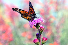 Monarch. Butterfly on a prairie blazing star Stock Photo
