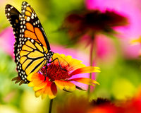 Monarch butterfly on a pretty flower Stock Image