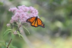 Monarch Butterfly Danaus plexippus on Purple Flower. Monarch Butterfly on pretty pink flower in a small park area. Kingston, Ontario royalty free stock photos