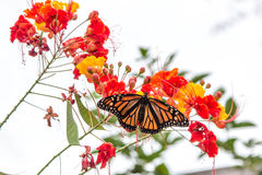 Monarch Butterfly on Pride of Barbados Flower. A Monarch Butterfly stretches his wings on Pride of Barbados Flower Royalty Free Stock Photo