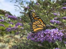 Monarch Butterfly with Proboscis in Flower. The butterfly bush, or Buddleja, is a favorite shrub to be cultivated, as in this purple variety, because of it`s royalty free stock photos