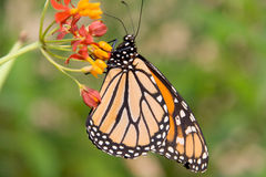 Monarch butterfly in profile Royalty Free Stock Photos