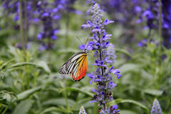 Monarch Butterfly stock photography