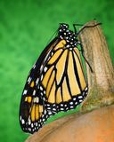 A Monarch Butterfly On A Pumpkin Stem. Close up image of a monarch butterfly holding onto a pumpkin stem, with a green background stock images