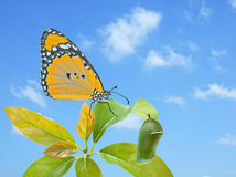 Monarch butterfly and pupae Royalty Free Stock Image