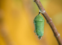 Monarch Butterfly Pupae. Covered in morning dew on milkweed branch. Closeup with copy space stock photos