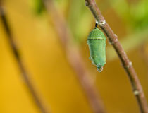 Monarch Butterfly Pupae. Covered in morning dew on milkweed branch. Copy space stock images