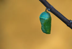 Monarch Butterfly Pupae Stock Images