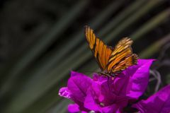 Monarch Butterfly. On purple bugambilia is a very beautiful plant that is given in Puebla royalty free stock photography