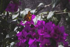 Monarch Butterfly. On the purple bugambilia is a very beautiful plant that is given in Puebla royalty free stock images