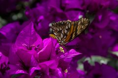 Monarch Butterfly. The purple bugambilia is a very beautiful plant that is given in Puebla royalty free stock photos