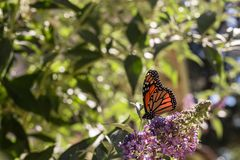 Monarch butterfly on purple butterfly-bush lit by summer sun light. With background of blue sky, with green leaves and branches royalty free stock images
