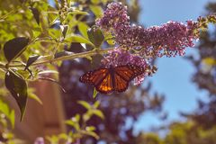 Monarch butterfly on purple butterfly-bush lit by summer sun light, blue sky in background. With green leaves and branch stock photo