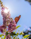Monarch butterfly on purple butterfly-bush lit by bright summer sunshine, blue sky in background. Vertical format royalty free stock photo