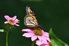 Monarch butterfly on purple cone flower Stock Photography