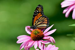 Monarch butterfly on purple cone flower Stock Image