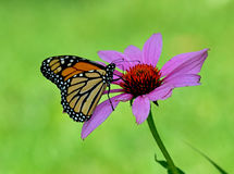 Monarch butterfly on purple cone flower Stock Photos