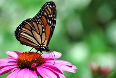 Monarch Butterfly on Purple Coneflower. Monarch butterfly( Danaus plexippus) feeding on a pink/purple Coneflower (Echinacea purpurea&#x29 Stock Photo