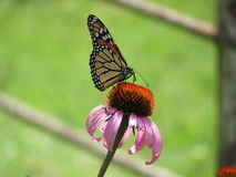 Monarch Butterfly on Purple Coneflower, Faded Green Background Royalty Free Stock Image