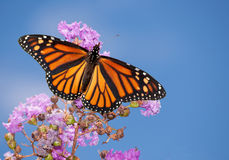 Monarch butterfly on a purple Crape Myrtle. Beautiful Monarch butterfly on a purple Crape Myrtle against blue summer sky Stock Photos