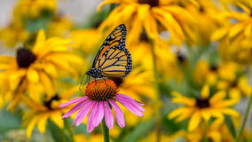 A Monarch Butterfly on a purple Echinacea cone flower. Amidst yellow Rudbeckia Goldsturm flowers Royalty Free Stock Photo