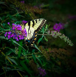 Monarch Butterfly on a Purple Flower. Colorful Monarch butterfly resting on a purple flower Stock Photography
