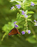Monarch Butterfly on purple flower Stock Photo