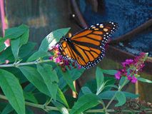 Monarch Butterfly. On a purple flower; Tuckahoe, Cape May County, New Jersey Stock Photos