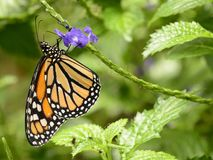 Monarch butterfly on purple flowers Royalty Free Stock Photos