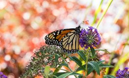 Monarch Butterfly on Purple Flowers. With a beautiful, colorful background in September royalty free stock images