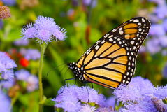 The Monarch. Monarch Butterfly on Purple Flowers in summer Royalty Free Stock Image