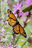 A monarch butterfly on a purple loosestrife plant stock image