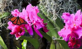 Monarch Butterfly on Purple Orchids. Monarch butterfly on beautiful purple orchids and Spanish moss royalty free stock image