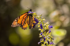 Monarch Butterfly on Purple Salvia Royalty Free Stock Photography