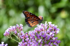 Monarch butterfly on purple sea foam flowers. Monarch butterfly on purple sea foam flowers, in Arizona`s Sonoran desert royalty free stock images