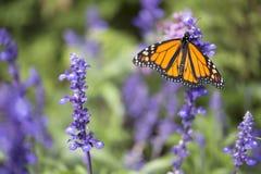 Monarch Butterfly. On purple stem stock photo