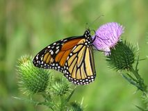 Monarch butterfly on purple thistle plant blossom stock photo