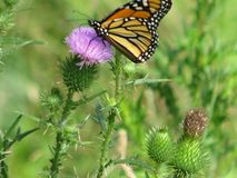 Monarch butterfly on purple thistle plant blossom. Garden setting with wild thistle plants blooms and buds with monarch butterfly feeding in the summer stock photography