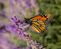 Monarch Butterfly on Purple Wildflower. A migrating Monarch Butterfly perched on a purple flower to gather nectar Royalty Free Stock Photography