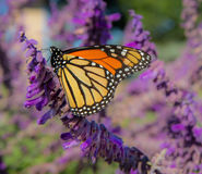 Monarch Butterfly on Purple Wildflower. A migrating Monarch Butterfly resting on a succulent purple wildflower to gather nectar Royalty Free Stock Image
