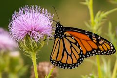 Monarch butterfly on purple wildflower in Theodore Wirth Park in Minneapolis, Minnesota stock images