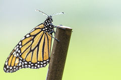 Monarch Butterfly in Rain Stock Photography