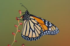 Monarch butterfly on red flower. With green background Royalty Free Stock Images